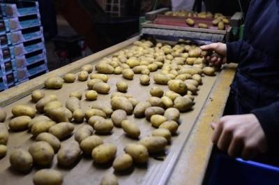 Pommes de terre résistant au sel
