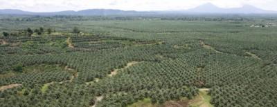 Culture-palmiers Indonésie
