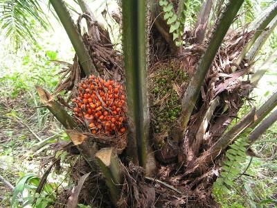 Palmiers à huile