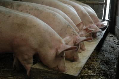 Alimentation du porc